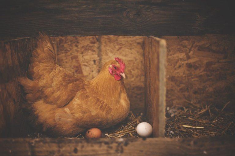alimentation poules