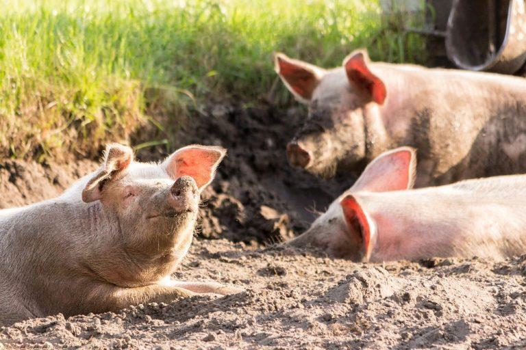 nourriture porc